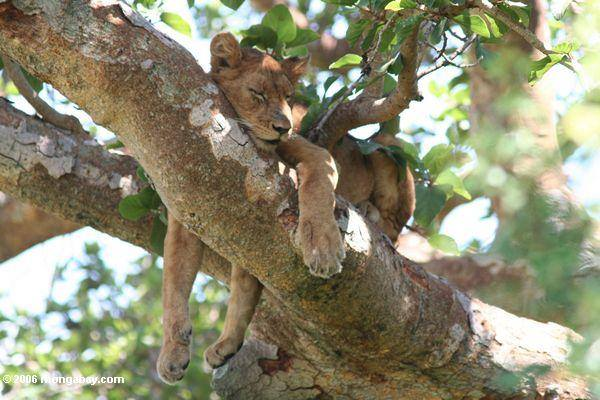 Animales más vistos del 2018: Una leona (Panthera leo) duerme en la rama de un árbol en Uganda Foto: Mongabay