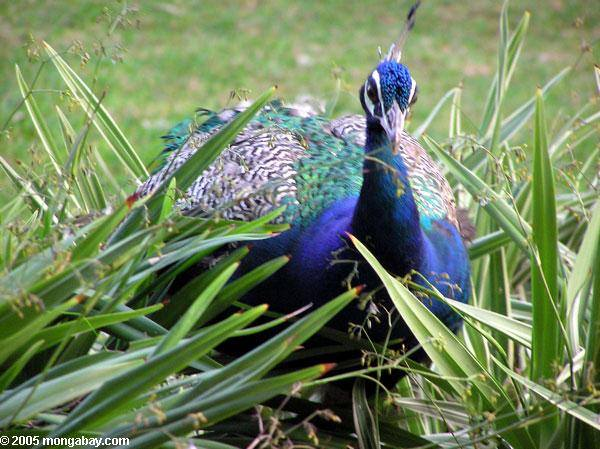 Animales más vistos del 2018: El pavo real es uno de los animales representativos de la India y esta semana cuenta con un nuevo aliado Foto: Mongabay