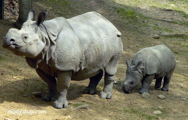 Animales más vistos del 2018: El rinoceronte de Sumatra es el más pequeño de la familia de los rinocerótidos, con apenas un máximo peso de 800 kilos Foto: Mongabay