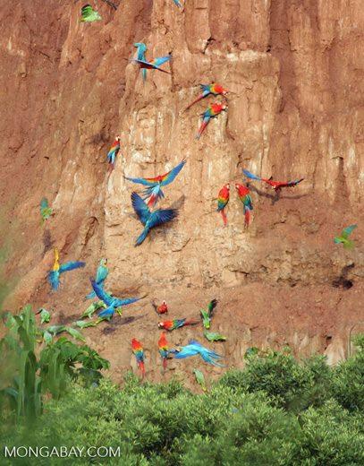 Animales más vistos del 2018: Guacamayos azulamarillos, macaos y loros reales se alimentan de arcilla en Tambopata, Perú. Foto: Mongabay
