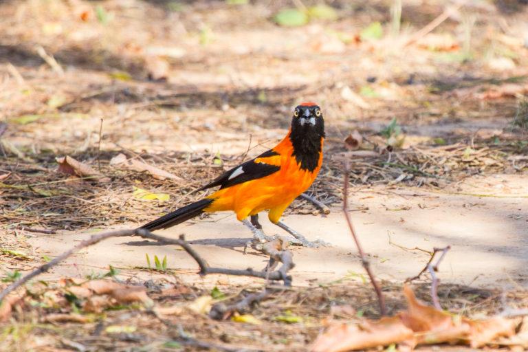 Pájaro en el suelo Chaqueño. Foto: Andrea Ferreira.