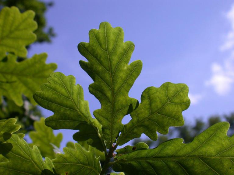 Los robles producen semillas recalcitrantes y no pueden almacenarse en un banco de semillas. Crédito de la foto: Royal Botanic Gardens, Kew.