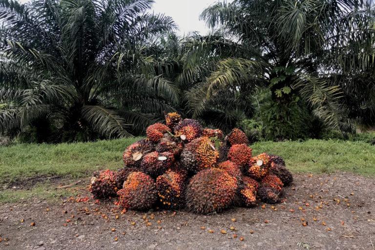 Fruto de palma. La empresa Palmares de El Castillo S.A. (PALCASA) se estima se ha expandido, desde 2006, en casi el doble de las hectáreas asignadas por la autoridad ambiental de Nicaragua. Foto: Julio López