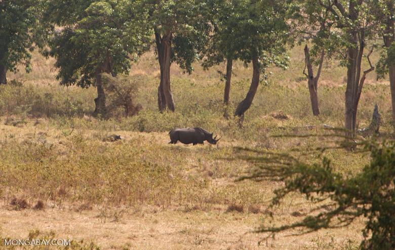 Un rinoceronte negro hembra y su cría en Tanzania. Foto: Rhett A. Butler / Mongabay