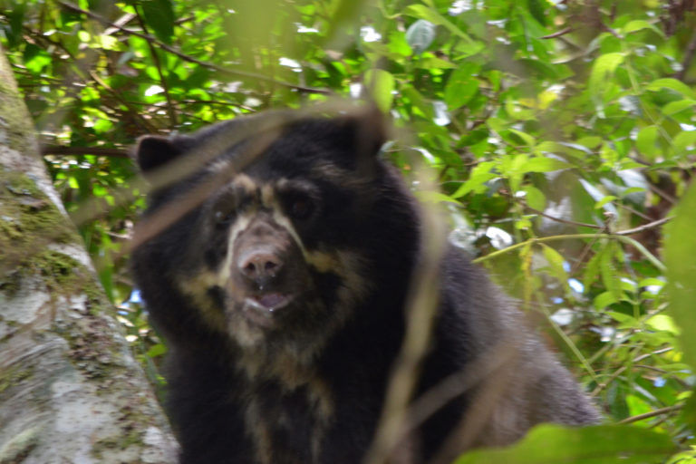 Doce individuos de oso de anteojos fueron registrados por las cámaras trampa. Foto: Sean Mchugh y Jasmina McKibben / Rainforest Partnership.