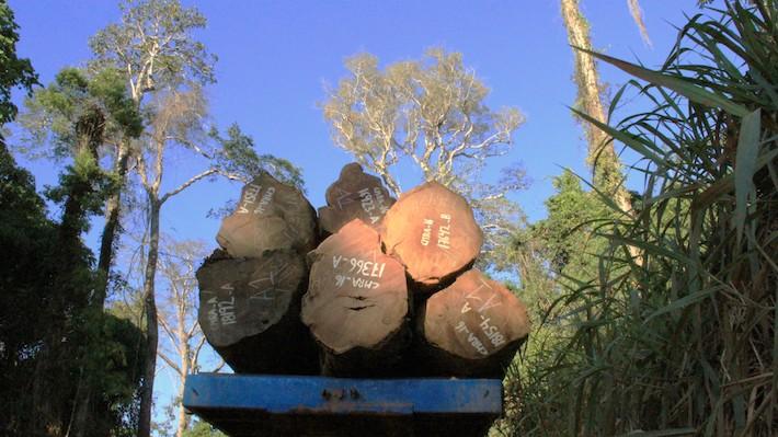 Osinfor debe asegurarse que la madera que sale del bosque cuente con documentos en regla. Foto: Vanessa Romo /Mongabay Latam.