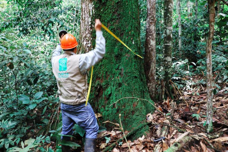 Varios tipos de permisos de extracción forestal se utilizan para blanquear madera. Foto: Osinfor.
