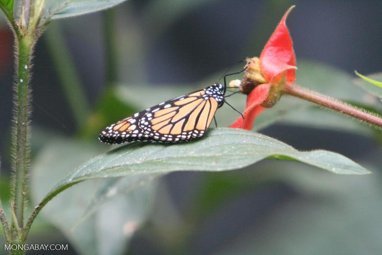 A pesar de que sus poblaciones están en declive, el espectáculo anual de la migración de las mariposas sigue cautivando a los turistas. Foto: Rhett A. Butler / Mongabay