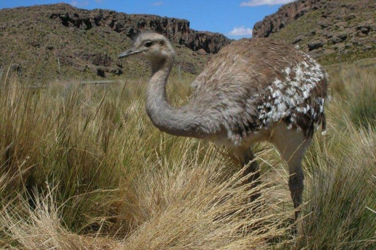 Según el último censo, solo hay 350 individuos de esta especie en Perú. Foto: Serfor.
