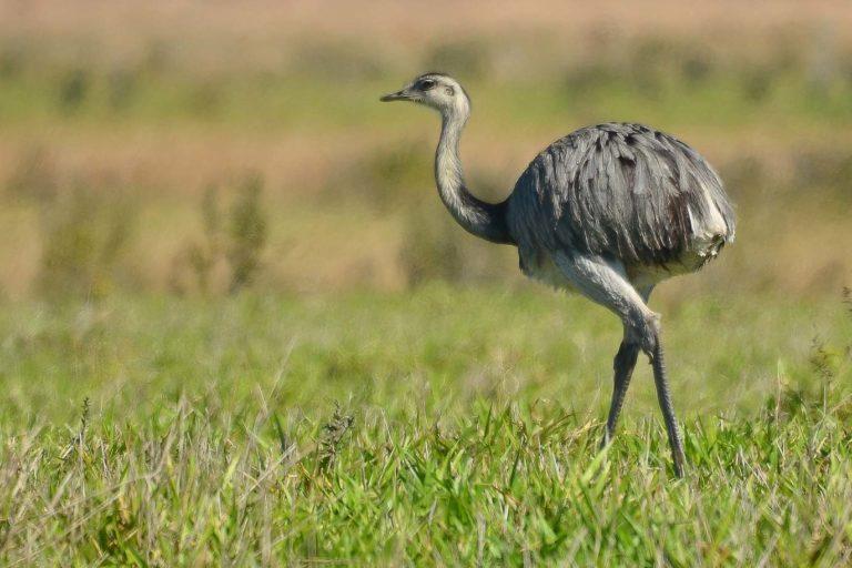 El suri, el ave más grande de Sudamérica, está en peligro de extinción. Foto: Serfor.