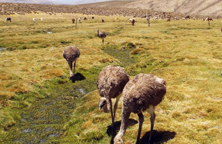 Son aves corredoras que alcanzan velocidades de hasta 80 kilómetros por hora. Foto: Serfor.
