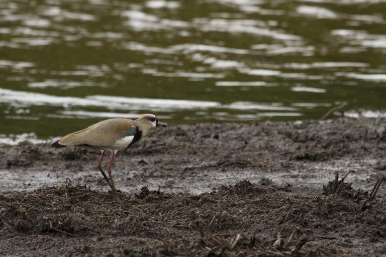 El alcaraván (Vanellus chilensis) es una especie de tierras bajas que ha llegado a Bogotá. Es bastante agresiva. Foto: Francisco Nieto Montaño.