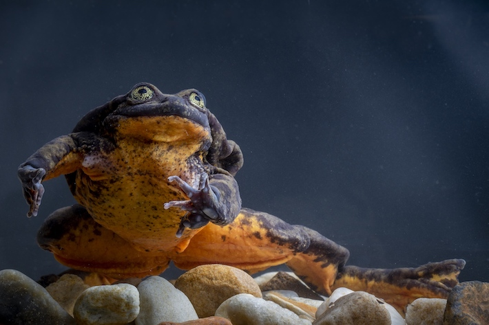 La rana Telmatobius yuracare se encuentra en estado Vulnerable, según la UICN. Foto: Robin Moore/ Global Wildlife Conservation.
