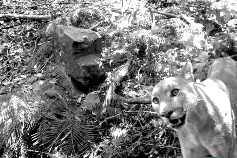 Varias especies de felinos han sido identificadas en el refugio de vida silvestre Laquipampa. Foto: SBC Perú.