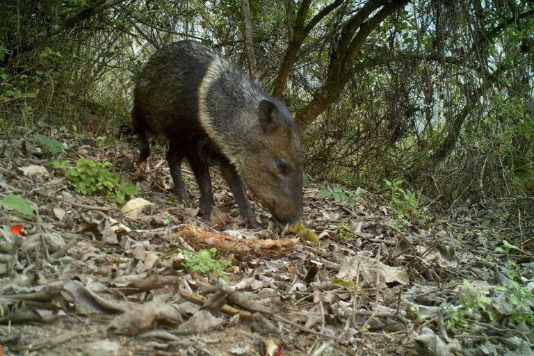 Laquipampa El monitoreo ha permitido conocer, por primera vez, la diversidad de fauna del área protegida. Foto: SBC Perú.