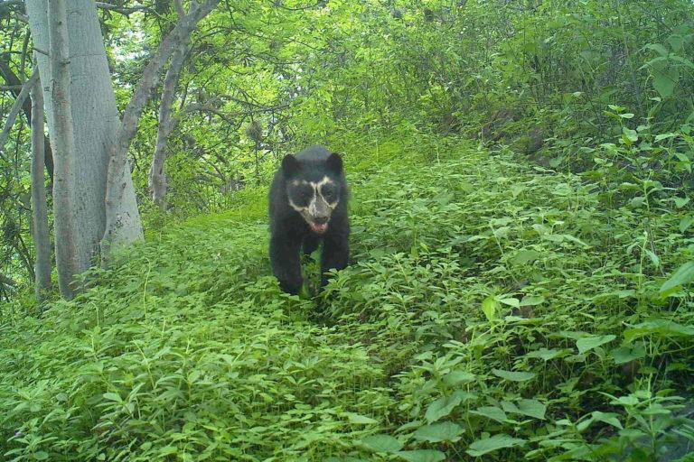Las cámaras trampa registraron 22 osos de anteojos en el Refugio de Vida Silvestre de Laquipampa. Foto: SBC Perú.