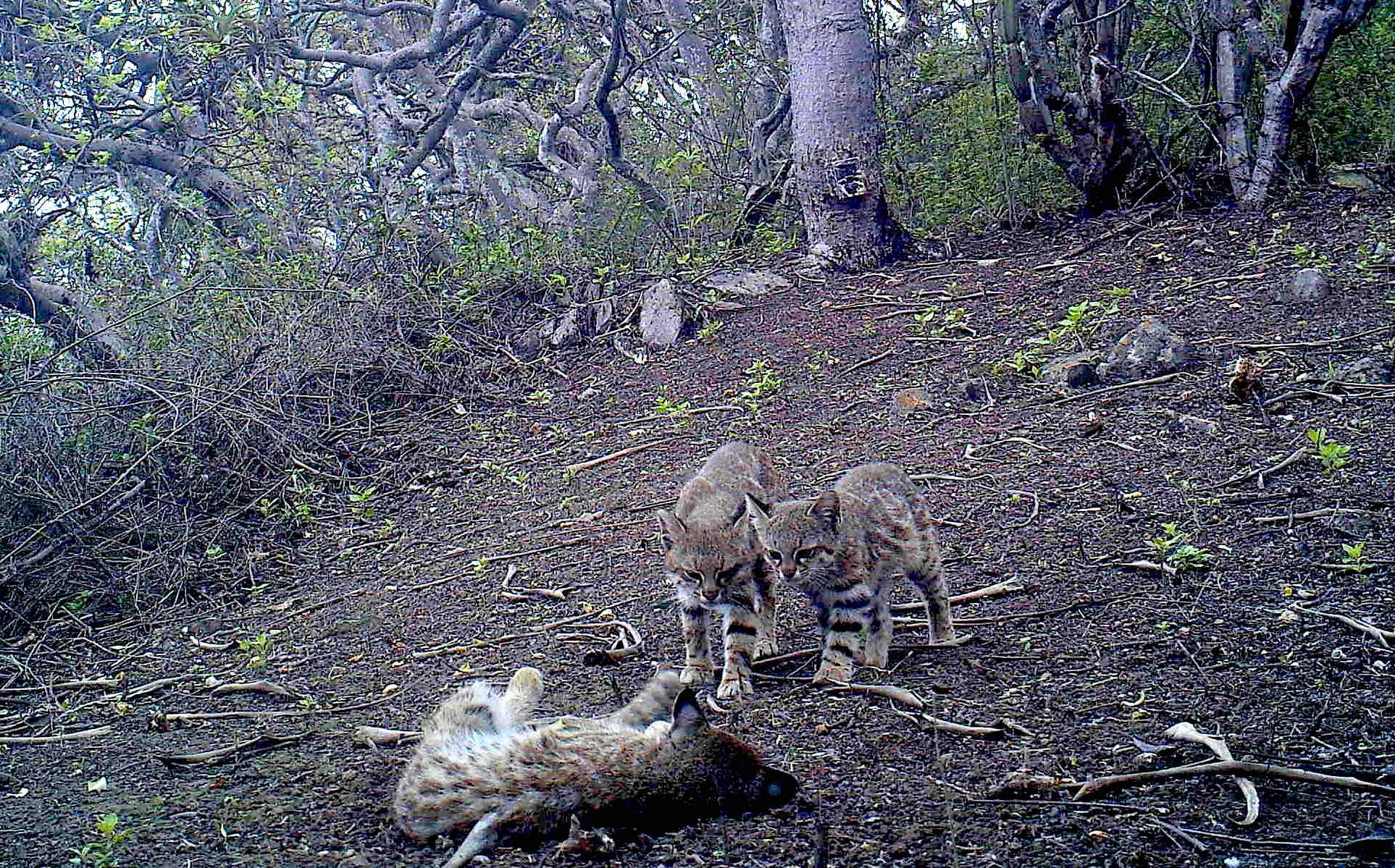 Sesenta cámaras trampa se colocaron en Laquipampa para monitorear la fauna del lugar. Foto: SBC Perú.