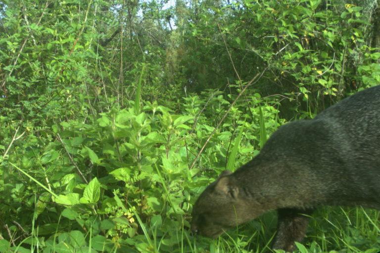 El yaguarundi ha sido una de las especies que más llamó la atención en Laquipampa. Foto: SBC Perú.