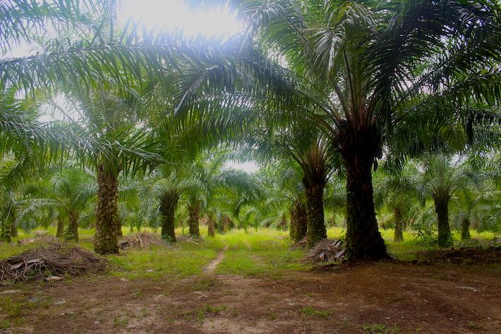 Muchos parajes de la ruta maya donde había suelo pantanoso ahora hay palma africana. Foto: Rodrigo Soberanes.