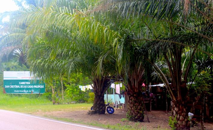 Pobladores de Salto de Agua aprovechan todas las superficies posibles para sembrar palma africana, incluso al lado de sus casas. Foto: Rodrigo Soberanes.