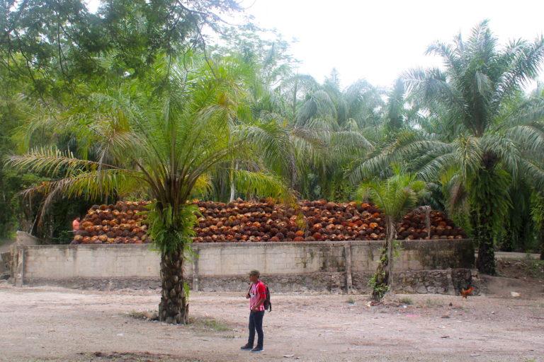 En Chiapas hay 64 000 hectáreas sembradas que representan el 70 % del total de las plantaciones de palma en México. Foto: Rodrigo Soberanes.