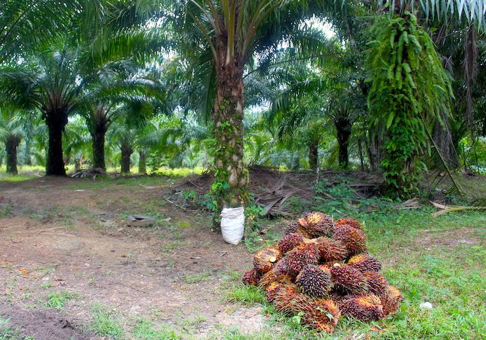 El fruto de la palma de aceite es acopiado en un predio del municipio de Salto de Agua, en la orilla de una carretera. Foto: Rodrigo Soberanes.