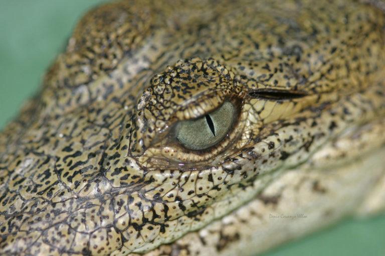 Los cocodrilos se cuentan en la noche, gracias al reflejo e sus ojos. Foto: Giovanni Andrés Ulloa.