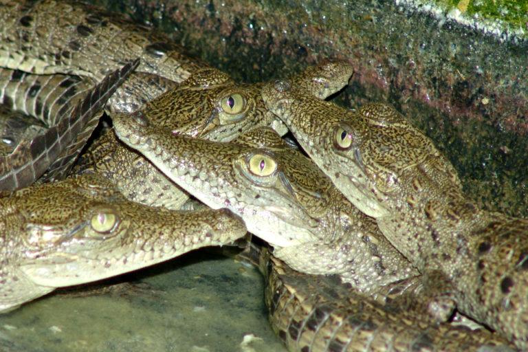 Los caimanes aguja están en zoocría hasta que alcanzan la talla adecuada para su liberación. Foto: Gavierofilms.