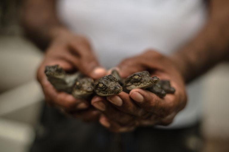 En 15 años Asocaiman ha liberado cerca de 12 000 caimanes aguja. Foto: Gavierofilms.