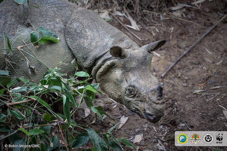 Un equipo de Global Wildlife Conservation (GWC) y WWF logró capturar esta rara imagen de un rinoceronte de Java en peligro crítico durante una expedición de 10 días en el Parque Nacional Ujung Kulon de Indonesia. Imagen de Robin Moore/Global Wildlife Conservation