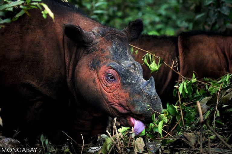 El rinoceronte de Sumatra (Dicerorhinus sumatrensis) es el más pequeño de la familia de los rinocerótidos: alcanza tan solo los 800 kilos frente a las 3 toneladas del rinoceronte blanco. Habita en algunas zonas de Malasia e Indonesia y se encuentra En Peligro Crítico de extinción. Foto: Rhett A. Butler
