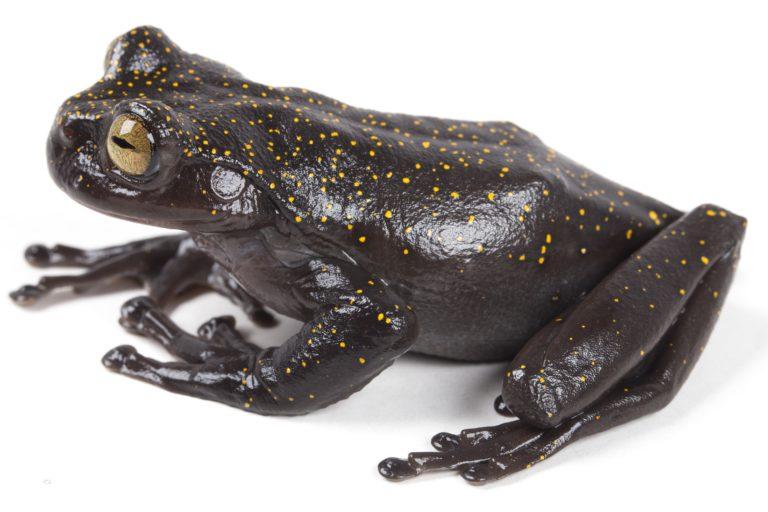 La nueva rana descubierta en Ecuador, Hyloscirtus hillisi, se encuentra a solo 10 kilómetros de un megaproyecto minero. Foto: PUCE-BIOWEB.