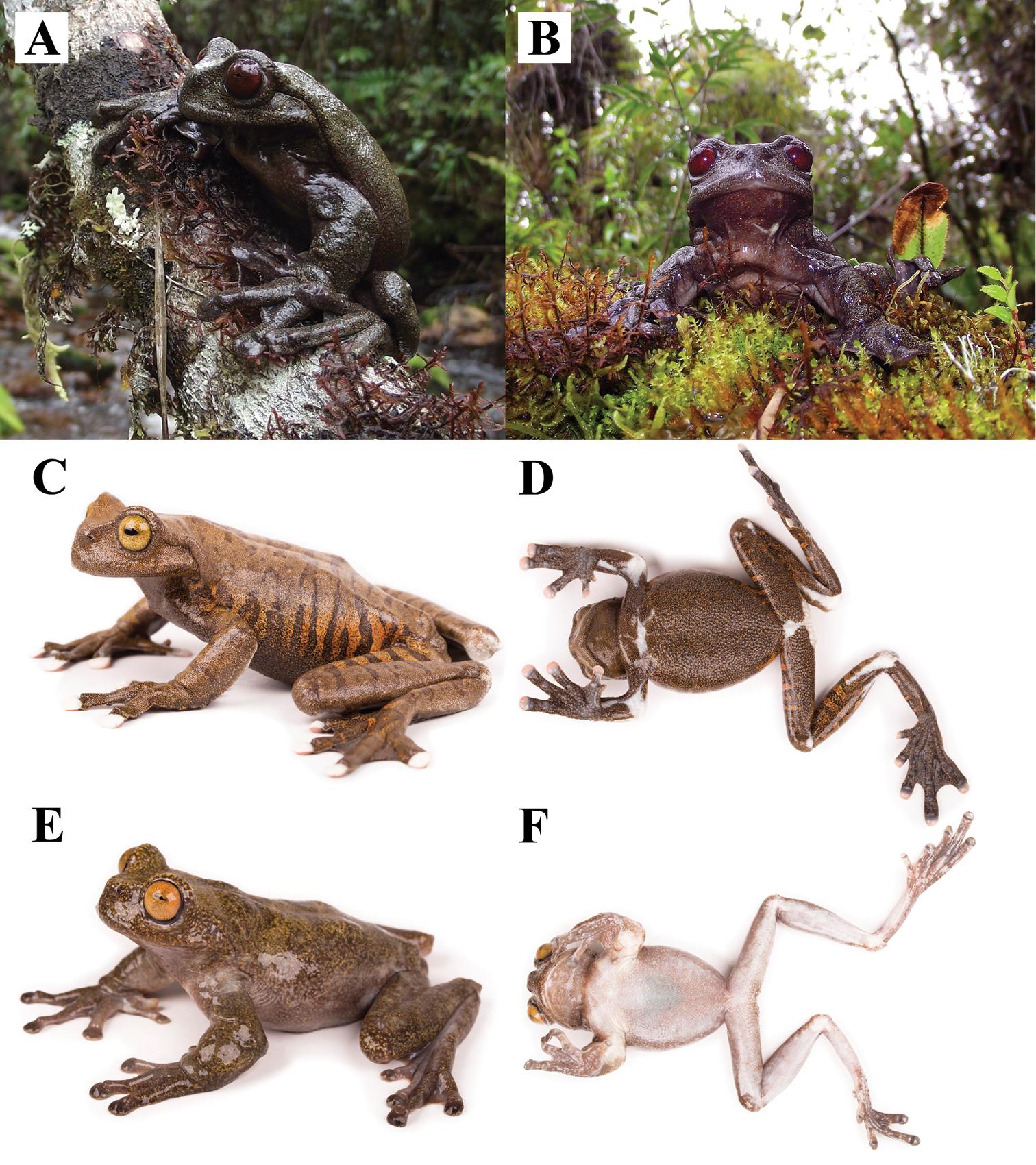 A, B: Hyloscirtus diabolus, macho adulto. C, D: H. tapichalaca, hembra adulta. E, F: H. condor, macho adulto. Fotos: Karla García-Burneo, Diego Quirola y Santiago Ron.