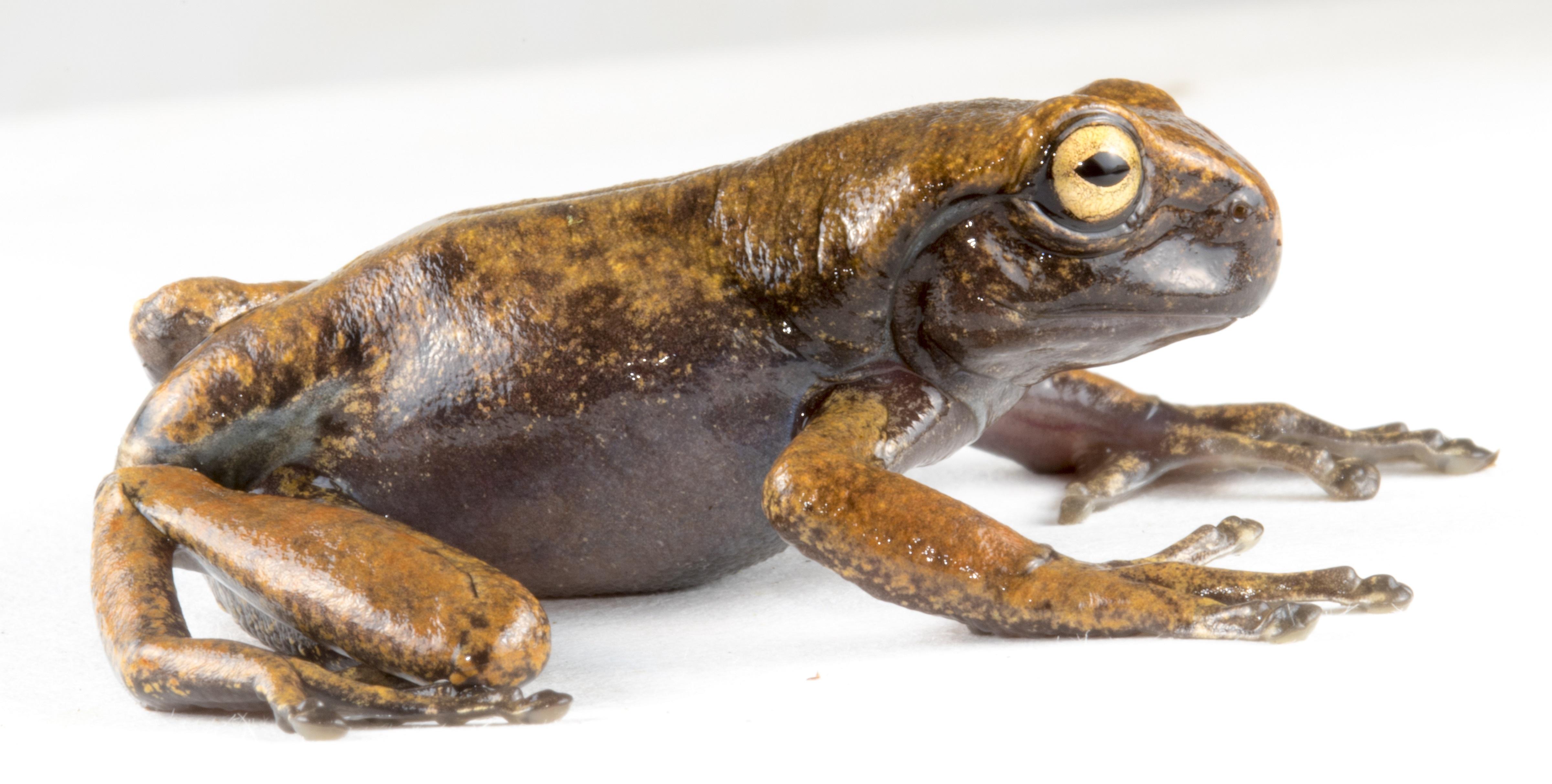 Juvenil de Hyloscirtus hillisi. Foto: PUCE-BIOWEB.