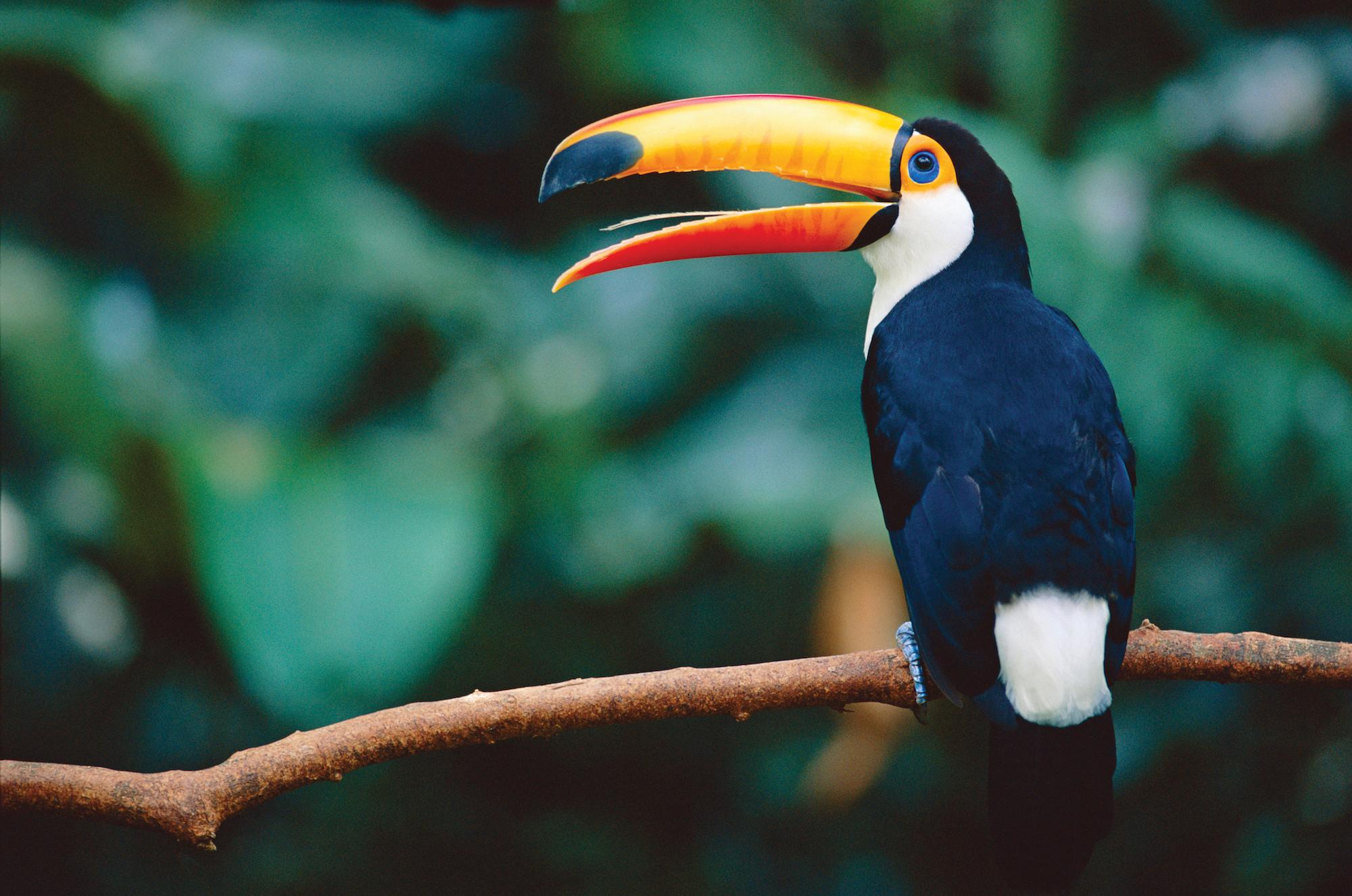 El comercio de aves de Sudamérica empezó a mediados del siglo XIX. Crédito: Staffan Widstrand / WWF