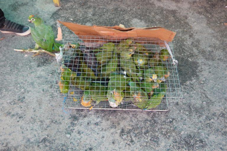 Decomiso de aves en la frontera de Guyana con Surinam. Foto: Hanneke Van Lavieren.