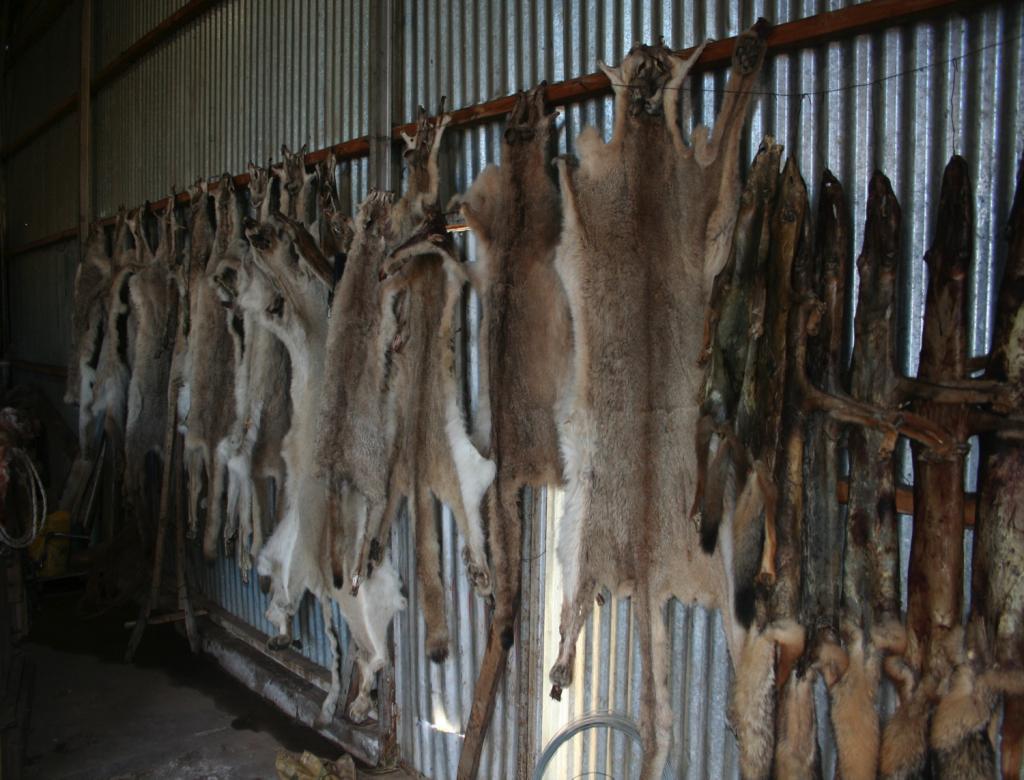 Pieles de pumas cazados. Foto: Cristián Saucedo