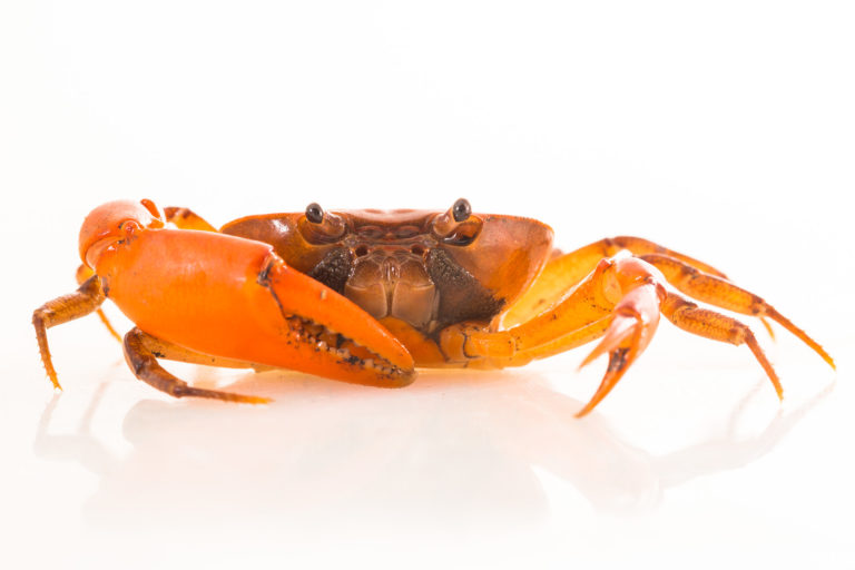 Nueva especie de cangrejo de agua dulce en Colombia. Foto: Felipe Villegas - Instituto Humboldt.
