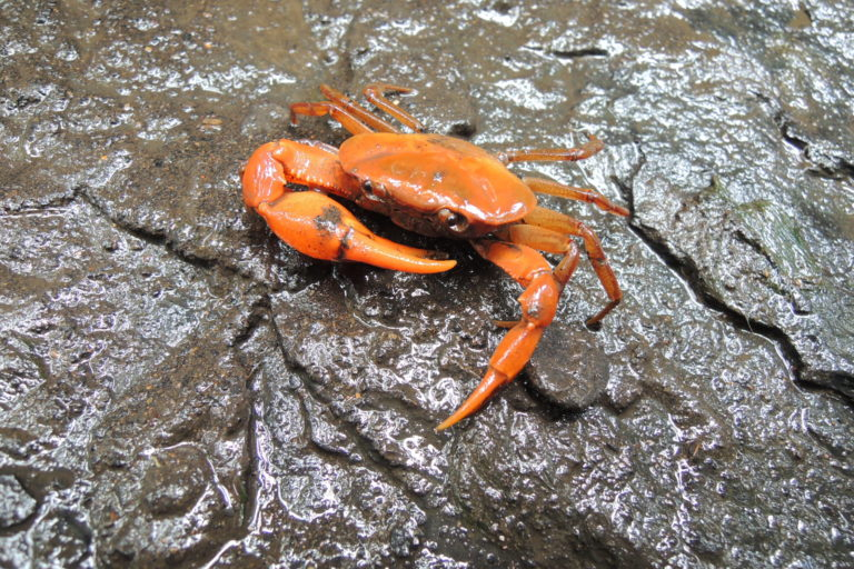 El cangrejo mandarina fue encontrado en el departamento de Santander, oriente de Colombia. Foto: Cortesía Maribel Arias.