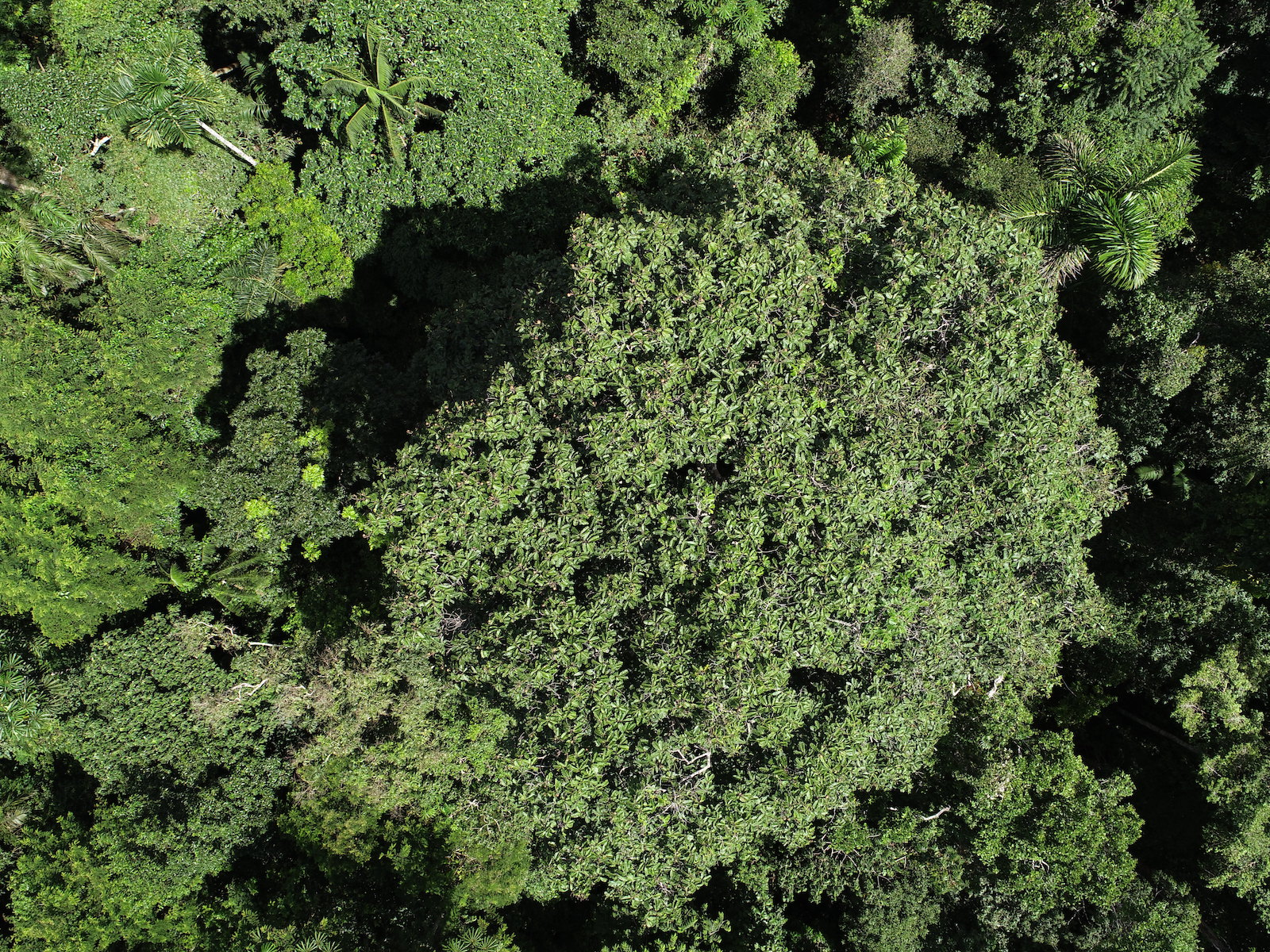 140 árboles de castaña son monitoreados por los drones del proyecto Aerobotany. Foto: AmazonWired /San Diego Zoo Global.