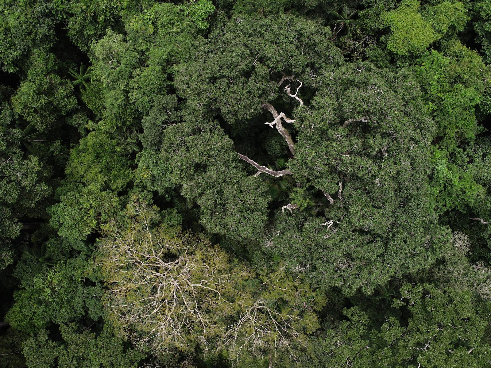 Árboles de castaña registrados por el proyecto Aerobotany en área colindante con Tambopata. Foto: AmazonWired /San Diego Zoo Global.