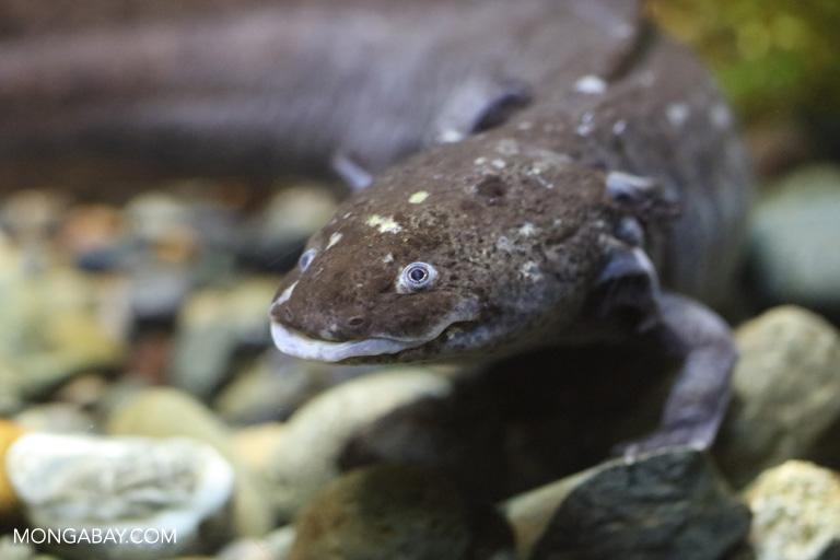 El ajolote se encuentra En Peligro crítico de extinción, según la Unión Internacional para la Conservación de la Naturaleza (UICN). Foto: Rhett A. Butler / Mongabay