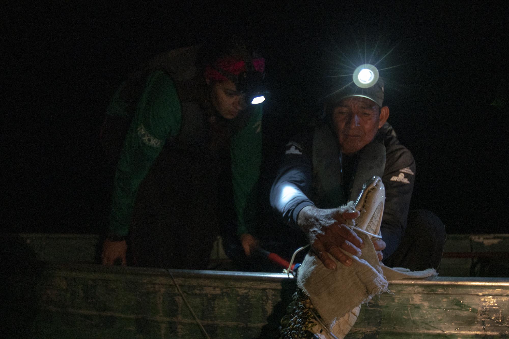 Investigadores del Instituto Mamirauá en su trabajo con caimán negro. Foto: Leonardo Lopes.