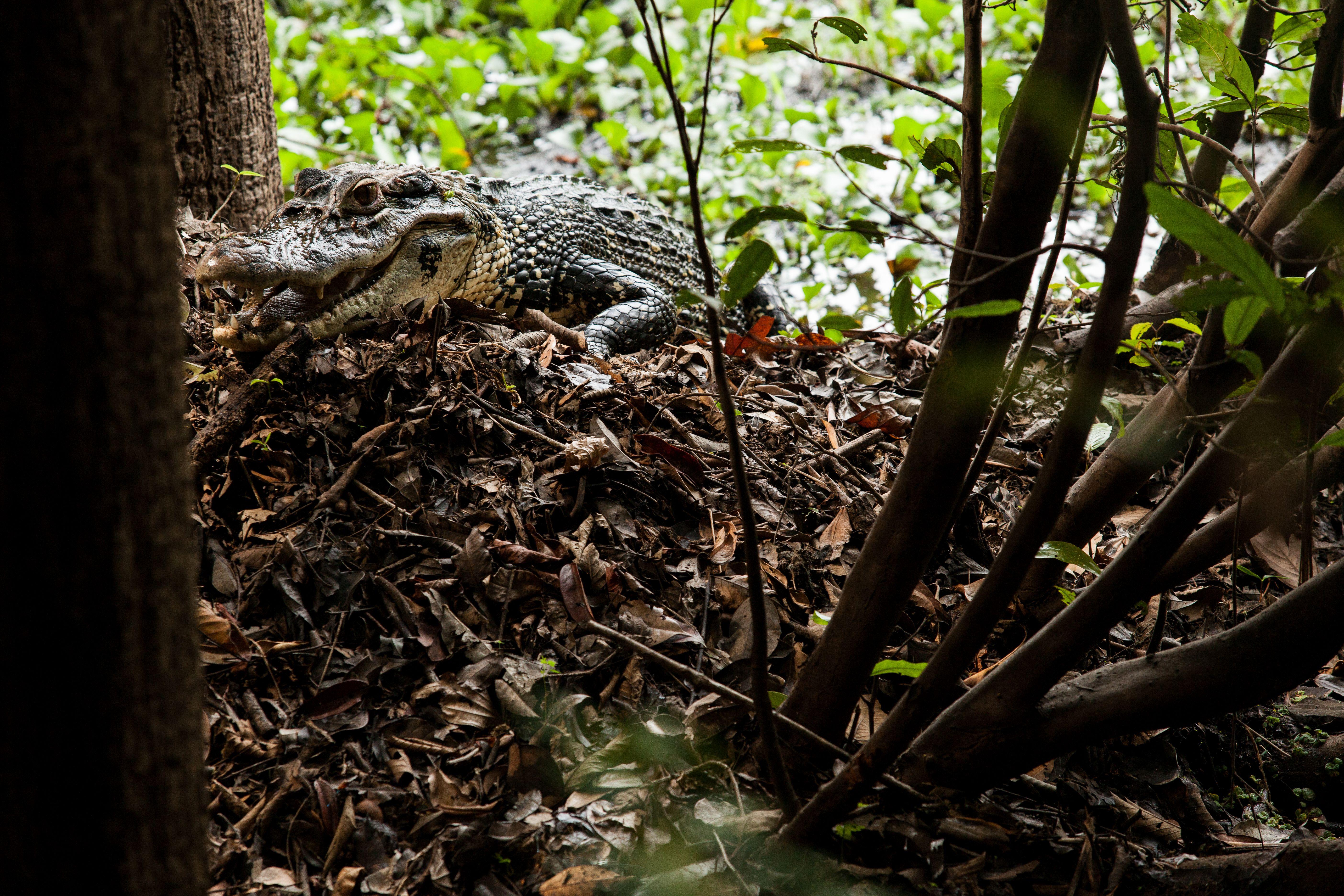 El caimán negro ya se puede ver en las periferias de ciudades como Manaos. Foto: Rafael Forte.