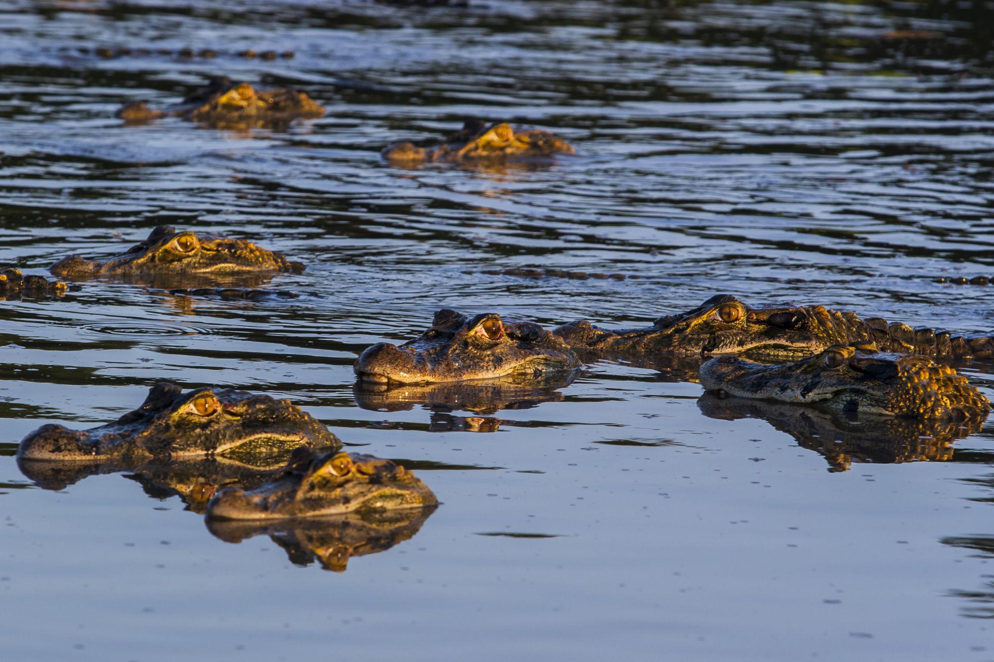 La presencia de caimán negro en el agua se asocia con presencia de peces. Foto: Marcelo Ismar Santana.