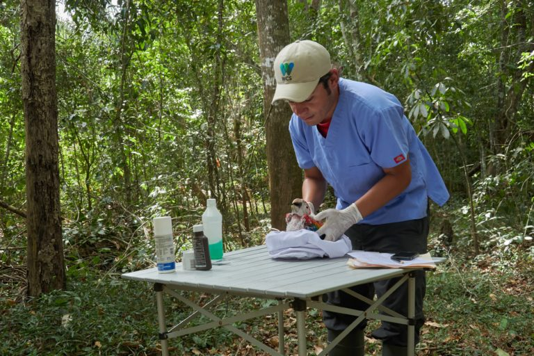 Algunos pichones son tratados en el laboratorio en campo en el Parque Nacional Laguna del Tigre en Guatemala. Foto: Hanna Emde/Nepada Wild.