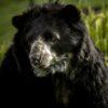 El hábitat del oso de anteojos se extiende por Los Andes, desde Venezuela hasta Bolivia. Foto: Fundación Grupo Argos.