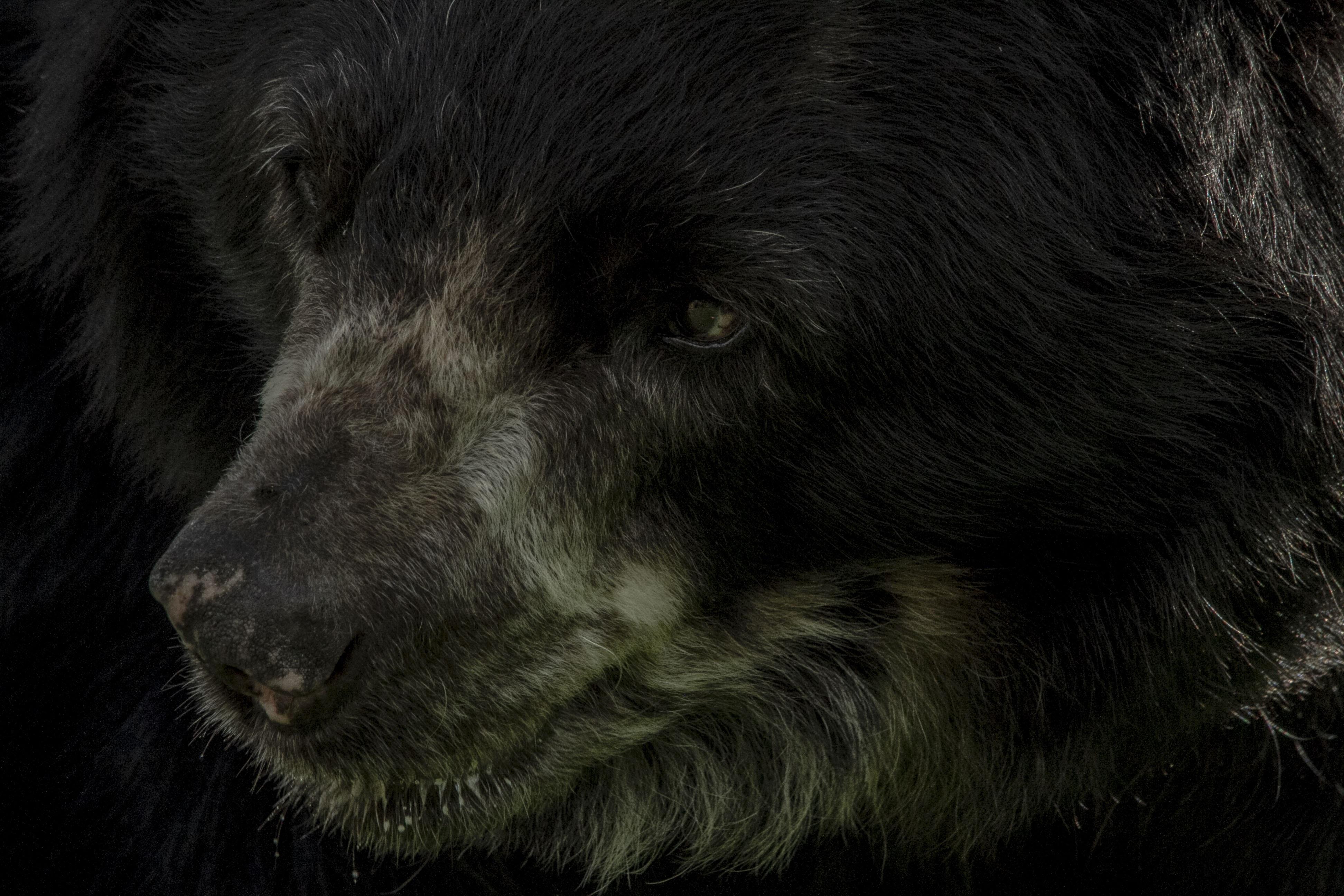 Uno de los principales objetivos del programa Conservamos la vida es reducir los conflictos oso de anteojos-humano. Foto: Fundación Grupo Argos.