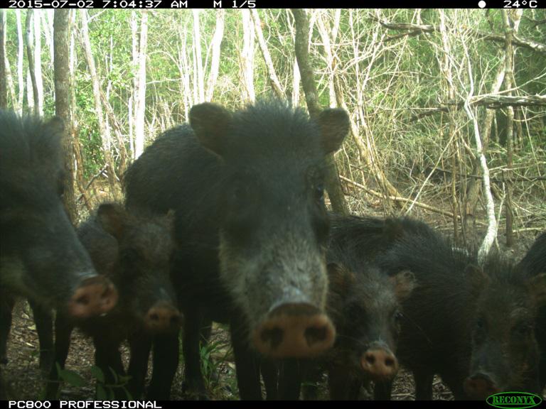 Una cámara trampa capta la imagen de un grupo de pecaríes barbiblancos. Imagen cortesía de WCS.