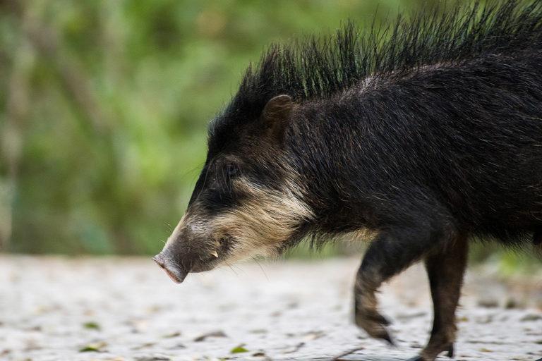 Los científicos creen que las protecciones del pecarí barbiblanco se extenderán a otras especies, como tapires, jaguares y pumas. Imagen de Apolinar Basora.